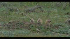 baby prairie dogs at den