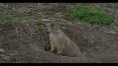 young prairie dog at den call close
