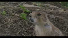 young prairie dog at den call closer
