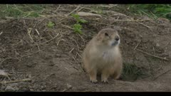 young prairie dog at den look timid close
