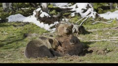 grizzly mom nursing 2 year old cub mom looking finished spring nice light
