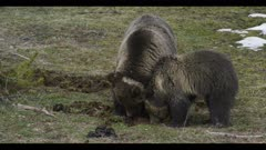 grizzly mom and 2 year old cub digging into bison feces and eating it early spring nice light close