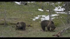 grizzly mom and 2 year old cub digging into bison feces and eating it early spring a little snow