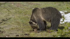 grizzly mom sniffing bison feces looking early spring nice light
