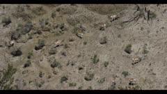pronghorn herd on hillside graze spring wide