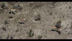 pronghorn herd on hillside graze spring mid shot