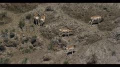 pronghorn herd on hillside graze spring pan
