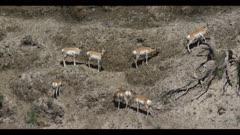 pronghorn herd on hillside graze spring
