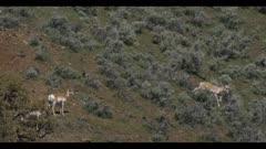 pronghorn herd on hillside graze run downhill spring