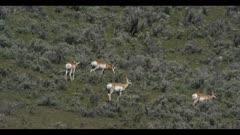 pronghorn herd on hillside graze run spring