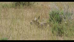 pronghorn newborn hiding behind grass spring close