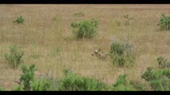 pronghorn newborn hiding behind grass spring wide