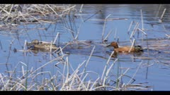 male and female cinnamon teal in breeding plumage paddling in pond spring