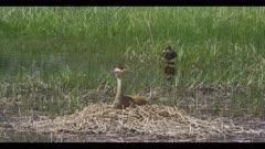 sandhill crane on nest in pond female mallard 'ducks' as male mallard lands spring