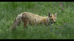 red fox hunt look for mouse or vole surrounded by spring flowers spring close