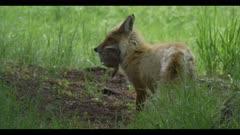red fox catch ground squirrel prey spring close