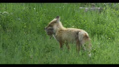 red fox walks to den with ground squirrel prey spring