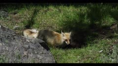 red fox catches and eats mouse/vole prey spring