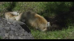 red fox catches mouse/vole prey spring