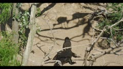 alligator walking uphill on rookery island towards roseate spoonbill and cormorant shadows spring