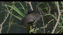 common gallinule in breeding plumage just above water on branch preening spring close