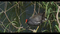 common gallinule in breeding plumage just above water on branch preen flap display call spring close