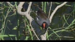 common gallinule in breeding plumage just above water on branch walk spring close