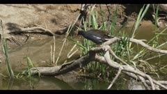 common gallinule in breeding plumage just above water on branch walk spring wide