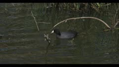 American coot on water eat dip swim spring