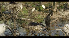 neotropic cormorant mated pair on nest preen nice light spring