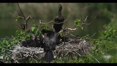 neotropic cormorant Phalacrocorax brasilianus mom with 3 or 4 new hungry chicks in nest spring