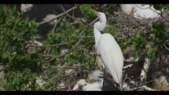great egret breeding plumage parent on nest with 1 hungry chick grabs parent's bill to stimulate regurgitation parent regurgitates chick swallows with difficulty spring