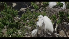 great egret breeding plumage parents on nest with 1 hungry chick chick grabs parent's bill to stimulate regurgitation parent tries to get loose leaves chick grabs other parent bill parent regurgitates chick looks goofy spring