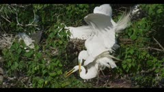 great egret breeding plumage pair mating really late in the season female fixes nest spring