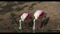 roseate spoonbill mating breeding ritual on rookery island next to water spring sunny cloudy close in breeding plumage