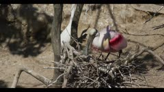 roseate spoonbill breeding plumage on nest with first eggs of the year rolls egg spring