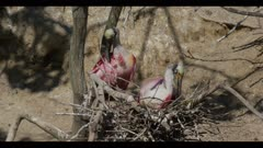 roseate spoonbill breeding plumage mated pair at nest one sitting on eggs preen groom spring