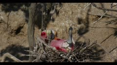 roseate spoonbill breeding plumage mated pair at nest one sitting on eggs stands to reveal eggs fix nest fly leave spring