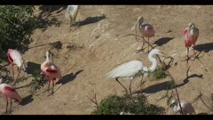 great egret roseate spoonbill breeding plumage display groom walk pick up nest stick from above spring wide