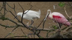 snowy egret and roseate spoonbill both in breeding plumage