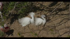 snowy egret mated pair on tree branch struggle to defend nesting spot from roseate spoonbill walk spring close wide