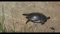Smooth soft-shelled turtle Apalone mutica next to tiny dead nootropic cormorant chick sunning resting watching spring