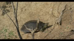 large Smooth soft-shelled turtle Apalone mutica sunning resting watching spring