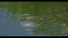 large Smooth soft-shelled turtle Apalone mutica swimming spring