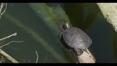 Red-eared slider Trachemys scripta on log looks stuck moving legs but not going anywhere spring