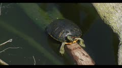 Red-eared slider Trachemys scripta walking on log spring close