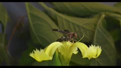 Wasp takes off from a flower in slow motion