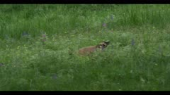badger walking through grass looking for foxes kill