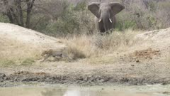 male leopard hiding while hunting impala, then chased off by elephant
