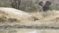 Leopard running from elephant